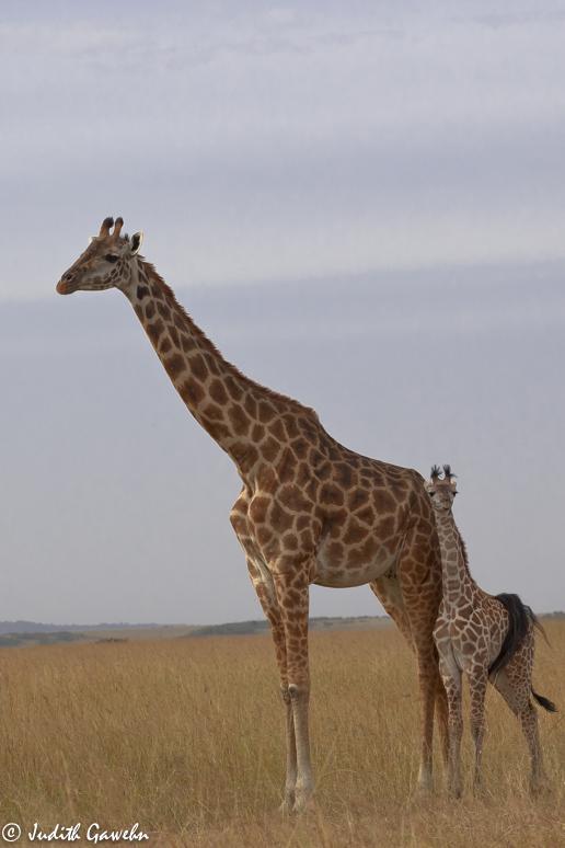 Atari Fotoreise Kenia, Massai Mara, Canon EOS- 1 D Mark IV, EF 70-200 mm f/ 2.8L IS II USM, ISO 400, 140mm 1/800 Sek. bei f/8,0