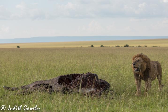 Riss eines Büffels in der Massai Mara,, Afari Fotoreise Kenia, Canon EOS 5 D Mark III, Ef 70-200 mm , f/ 2,8 L IS II USM, 90 mm, 1 / 1600 Sek. bei f / 4,0