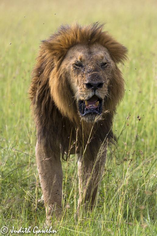 Massai Mara Löwe, Kenia Fotoreise, Canon EOS 5 D Mark III, EF 70-200 mm, f/2.8, L IS II USM, 175 mm , Iso 200, 1 / 1000 Sek. bei f / 4,0