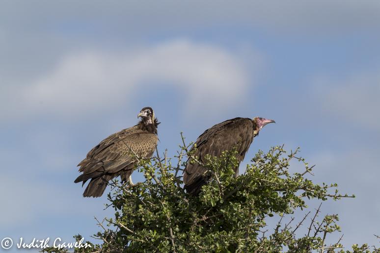 Kappengeier ( Hooded Vultures ) in der Massai Mara, Afari Fotoreise Kenia, Canon Eos - 1 D Mark IV, EF 200-400 mm, f / 4,0 L IS USM, ISO 400 , 1 / 4000 Sek. bei f 5,6