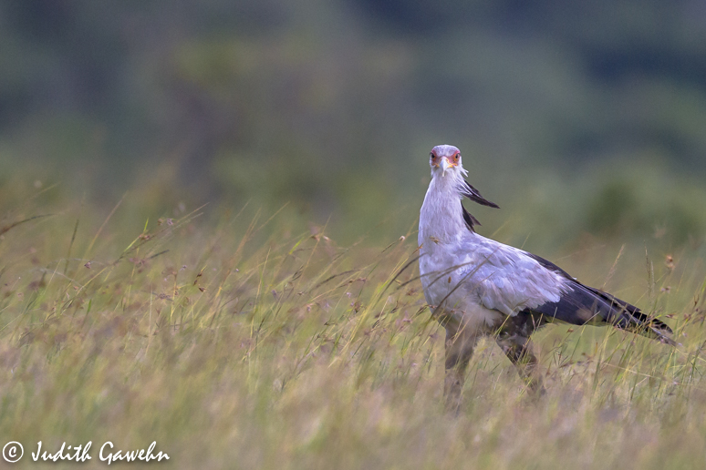 Secretary Bird ( Sekretär Vogel ) Masai Mara, Afari Fotoreise nach Kenia, Canon EOS- 1 d Mark IV, EF 600 mm f/4L IS II USM , 1 / 1250 Sek bei f / 4,0