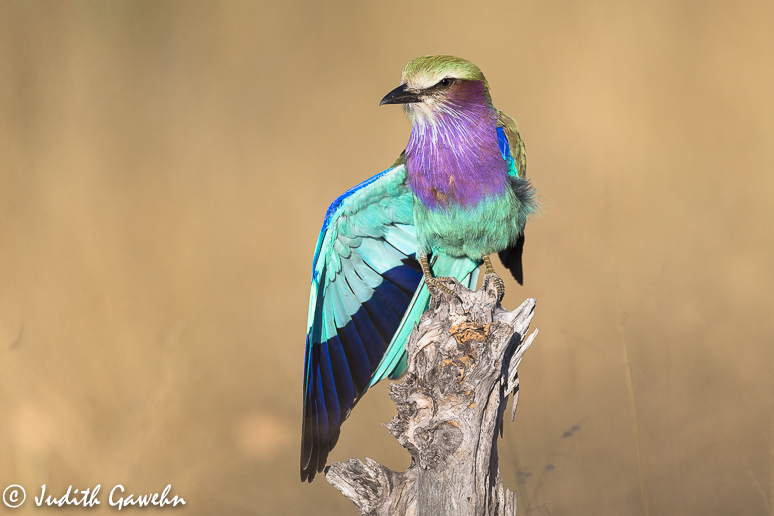 Gabelracke ( Lilac-breasted Roller ), Nationalvogel Botswanas, Canon EOS-1 DX, EF 200-400mm f/4L IS USM EXT, 560mm, ISO 400, 1/2500 Sek. bei f 5,6