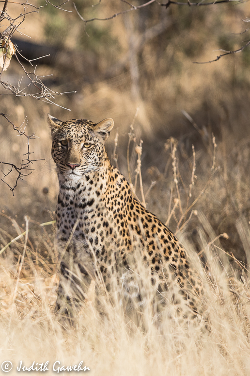 Ein wildes Leopardentrekking begann, als dieser erstmalig gesichtet wurde. Canon EOS 1 DX, EF 200-400mm F / 4,0 L IS USM EXT, 436 mm, ISO 640, 1/ 1600 Sek. bei f/ 5,6 Safari Fotoreise Botswana, Okavango Delta,