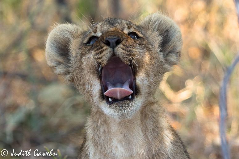 Und schon bald nach dem Leopardenwtrekking spürten wir die junge Löwenfamilie auf, 2 Löwinnen mit 6 Jungtieren, die sich unter einem Busch und neben einem Termitenhügel niedergelassen hatten. Wir hatten wenige aber trotzdem einige Gelegenheiten. Wir verbrachten wir den Rest unseres Nachmittags . Canon EOS 1 DX, EF 200-400mm, f/4,0 IS USM, EXT, 388mm, ISO 640, 1/ 1250 bei f/5,6