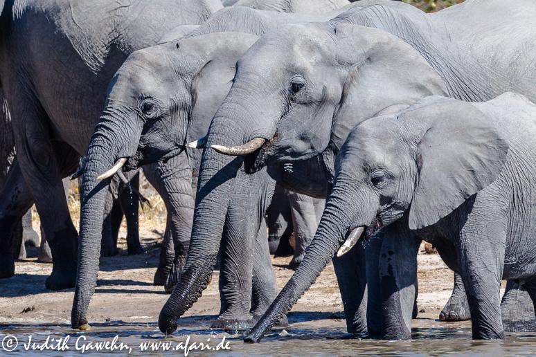 Die Frühstückspause war überfällig und wir fuhren das nächste Wasserloch ad, wo wir eine Elefantenherde beim Frühstückstrinken erwischten. Canon EOS 1 DX, Ef 200-400mm, f/4,0 IS USM, EXT,,490 mm, ISO 800, 1/ 1250 Sek. bei f/ 7,1