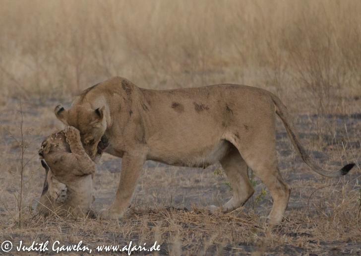 In den frühen Morgenstunden fanden wir die 2 Löwinnen mit ihren 6 Jungtiere wieder. Canon 1 DX, EF 70-200mm f/2.8 L IS II USM, ISO 1250, 200mm, 1/ 1600 Sek. f/2.8