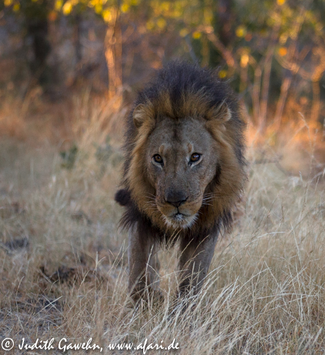 Schließlich fand sich auch einer der Löwenmänner ein  Canon EOS 1 DX, EF 70-200mm f/ 2.8 L IS II USM, 140mm, ISO 1600, 1/ 2500 Sek. f/ 2.8