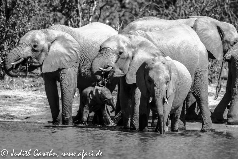 Irgendwie blieb kaum Zeit zum Frühstücken, da uns die Elefantenherde ( insgesamt an die 25-30 Tiere ) in Atem hielt. Canon EOS 1 D Mark IV, 600 mm f / 4,0 IS II USM, ISO 400, 1 / 5000 Sek bei f / 4,0
