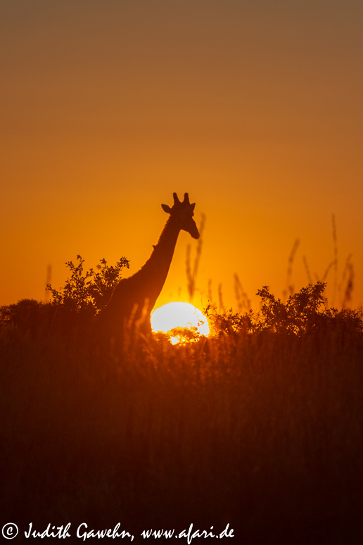 African Sunset in the Okavango Delta, Afari Fotoreise , Botswana,Canon EOS 1 D Mark IV, Ef 70-200mm f/ 2.8 IS II USM, 168mm, ISO 160, 1/ 200 Sek .f/ 5.6