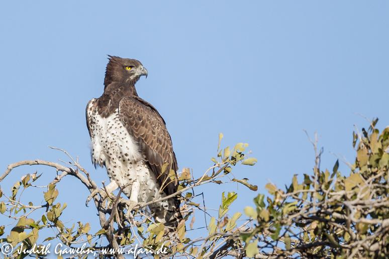 Nachdem die Löwen sich im Busch zurück gezogen hatten fanden wir einen Martial Eagle. Canon EOS 1 D Mark IV, EF 600mm F/ 4,0 L IS II USM, ISO 640 , 1 / 5000 Sek f/4.0