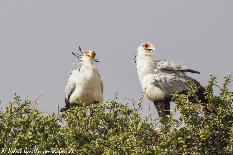 Sekretärvögel in der Massai Mara, Kenia, Afari Fotoreise, Canon EOS- 1 DX, EF600mm, f/4L IS II USM , 1/2000 Sek., f/5,6. ISO 400